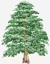 Cedar Tree Cartoon