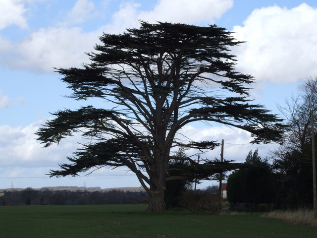 Cedar tree pictures facts on trees
