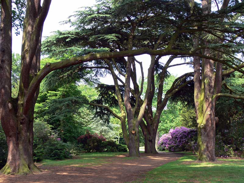 Cedar Tree Varieties Pictures ~ Cedar tree pictures facts on trees