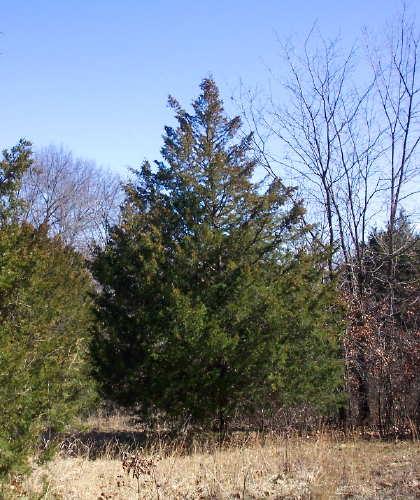 Cedar Tree Varieties ~ Cedar tree pictures facts on trees