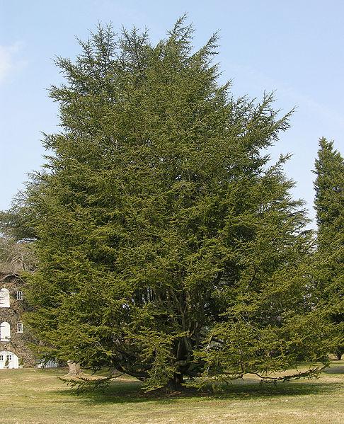 Cedar Tree Pictures, Facts on Cedar Trees