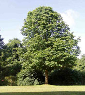 Chestnut Tree