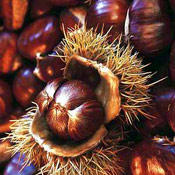 Chestnut Tree Pictures; Chestnut Tree Seeds