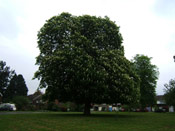Chestnut Tree Pic