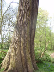 Chestnut Tree Trunk