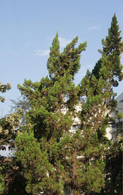 Juniper Trees, Picture of Chinese Juniper Tree