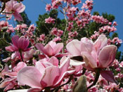 Chinese Tulip Tree Blossoms
