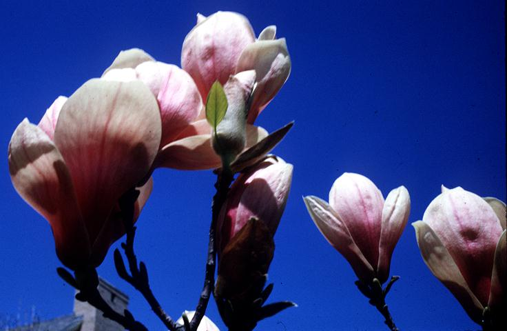 Magnolia Tulip Tree Facts Chinese Tulip Tree Facts on