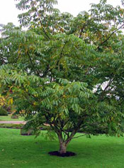 Pictures of Walnut Trees: Chinese Walnut Tree Type