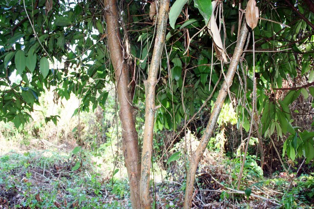 cinnamon tree - photo #5