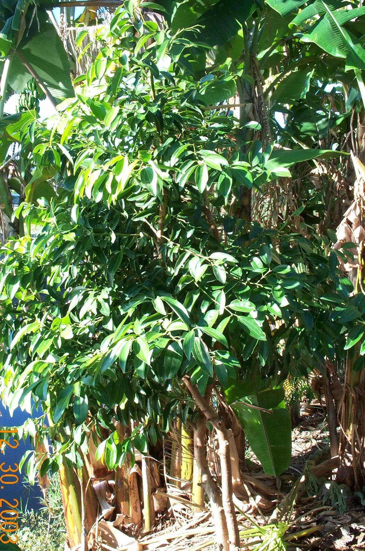 cinnamon tree - photo #20
