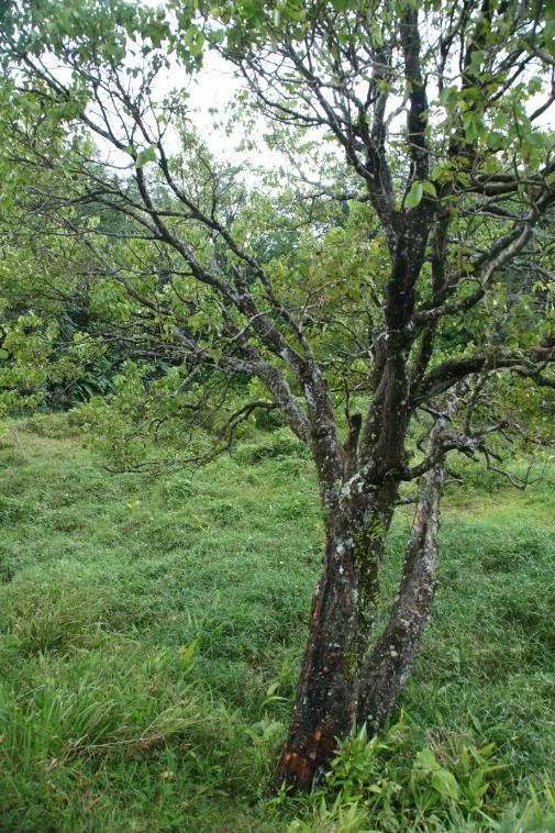 cinnamon tree - photo #9