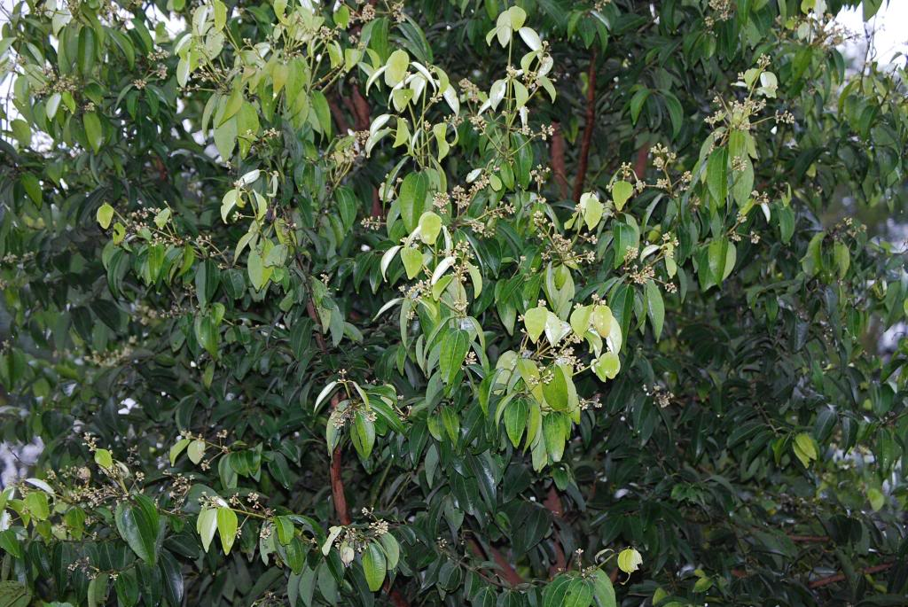 cinnamon tree - photo #32