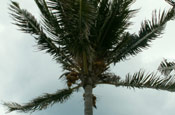 Coconut Palm Tree Image