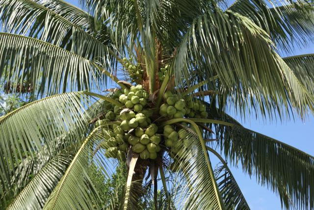 Pictures Of Coconut Tree | www.imgkid.com - The Image Kid ...