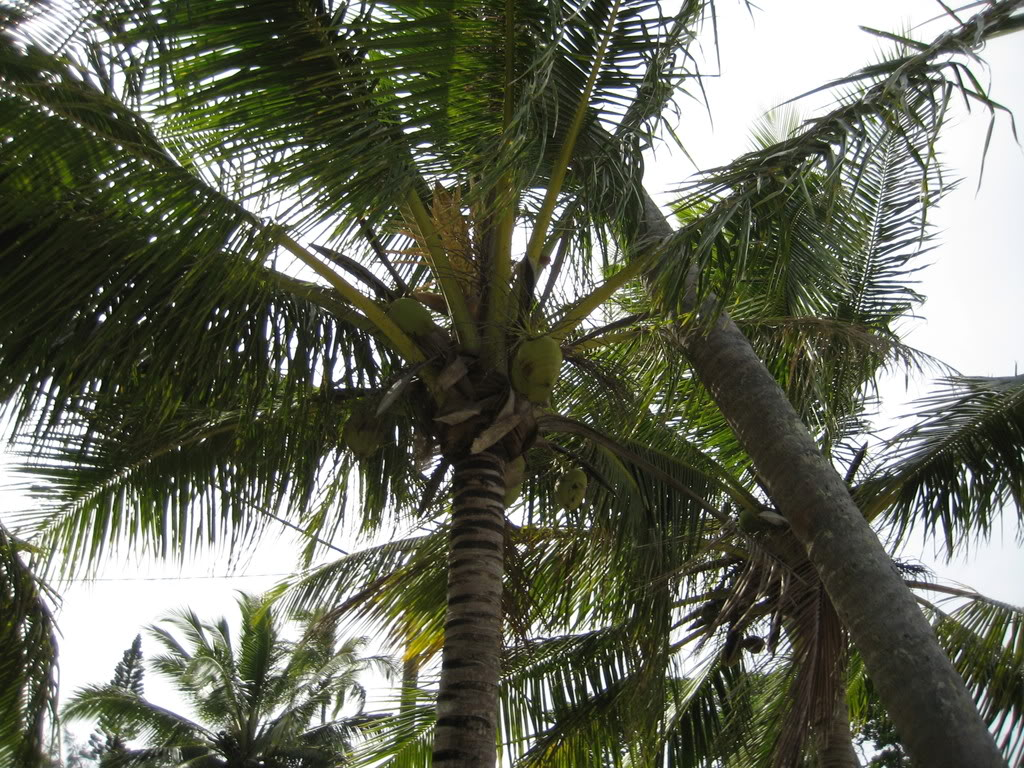 coconut palm tree The coconut palm, cocos they are the only members of the family arecaceae the palm tree was a sacred sign of apollo in ancient greece because he had been.