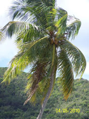 Coconut Palm Tree Picture