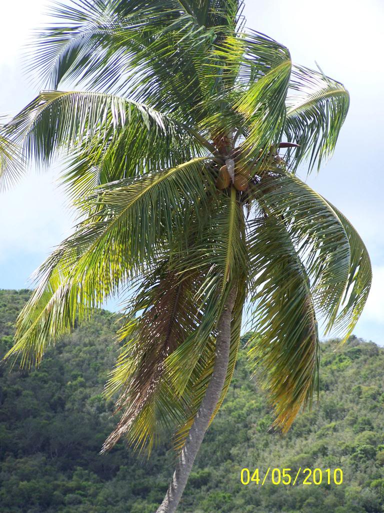 Coconut Palm Tree, Pictures amp; Facts on Coconut Palm Trees