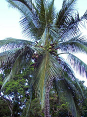 Coconut Palm Tree Photo