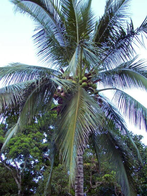 Coconut Palm Tree, Pictures & Facts on Coconut Palm Trees