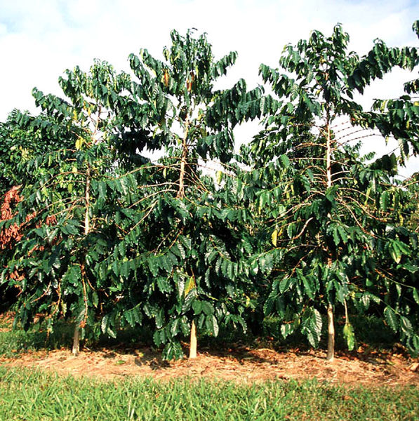 coffee tree pictures facts on coffee trees. Black Bedroom Furniture Sets. Home Design Ideas