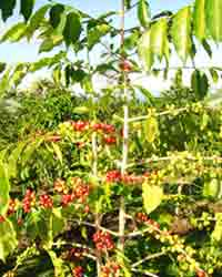 Tree Photography, Coffee Tree Pic