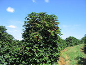 Coffee Tree Brasil