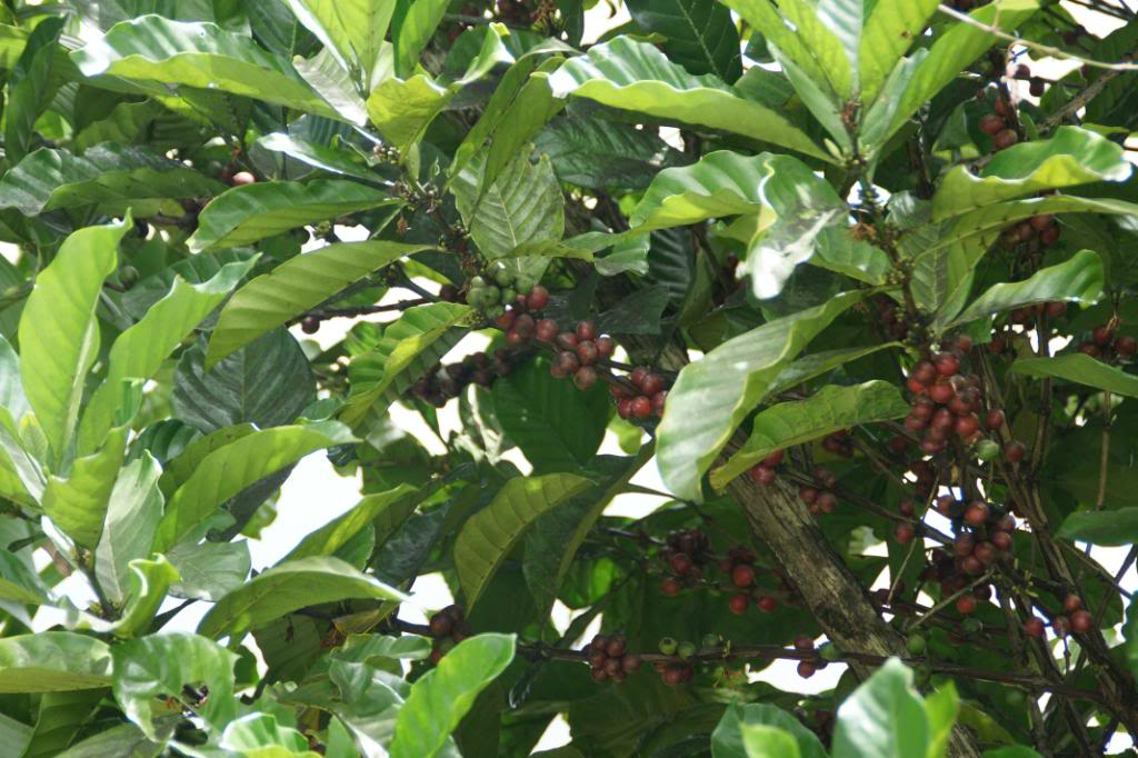 Coffee Tree Pictures, Facts on Coffee Trees