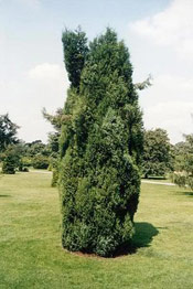 Juniper Tree Picture, Photo of Common Juniper Tree