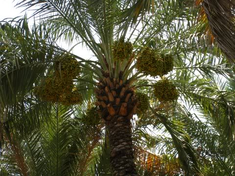 date palm tree fruit. Date Palm Tree Pictures,