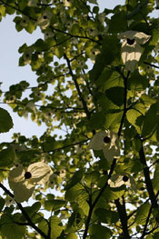 Dove Tree Pic