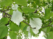 Dove Tree Flowers