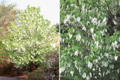 Dove Tree Picture