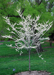 Redbud Tree Pictures; Western redbud Type