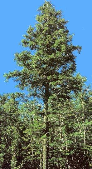 Hemlock Tree Pi...