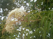 Elderberry Tree Photo