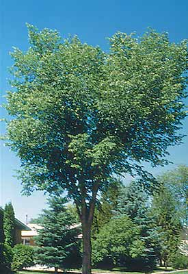 Elm Tree Symbolism http://www.red-grey.co.uk/general/dutch-elm-tree.html