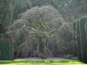 Elm Tree Photo