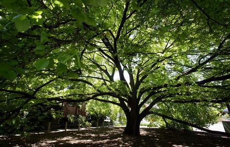 Elm tree types list of different types of elm tree