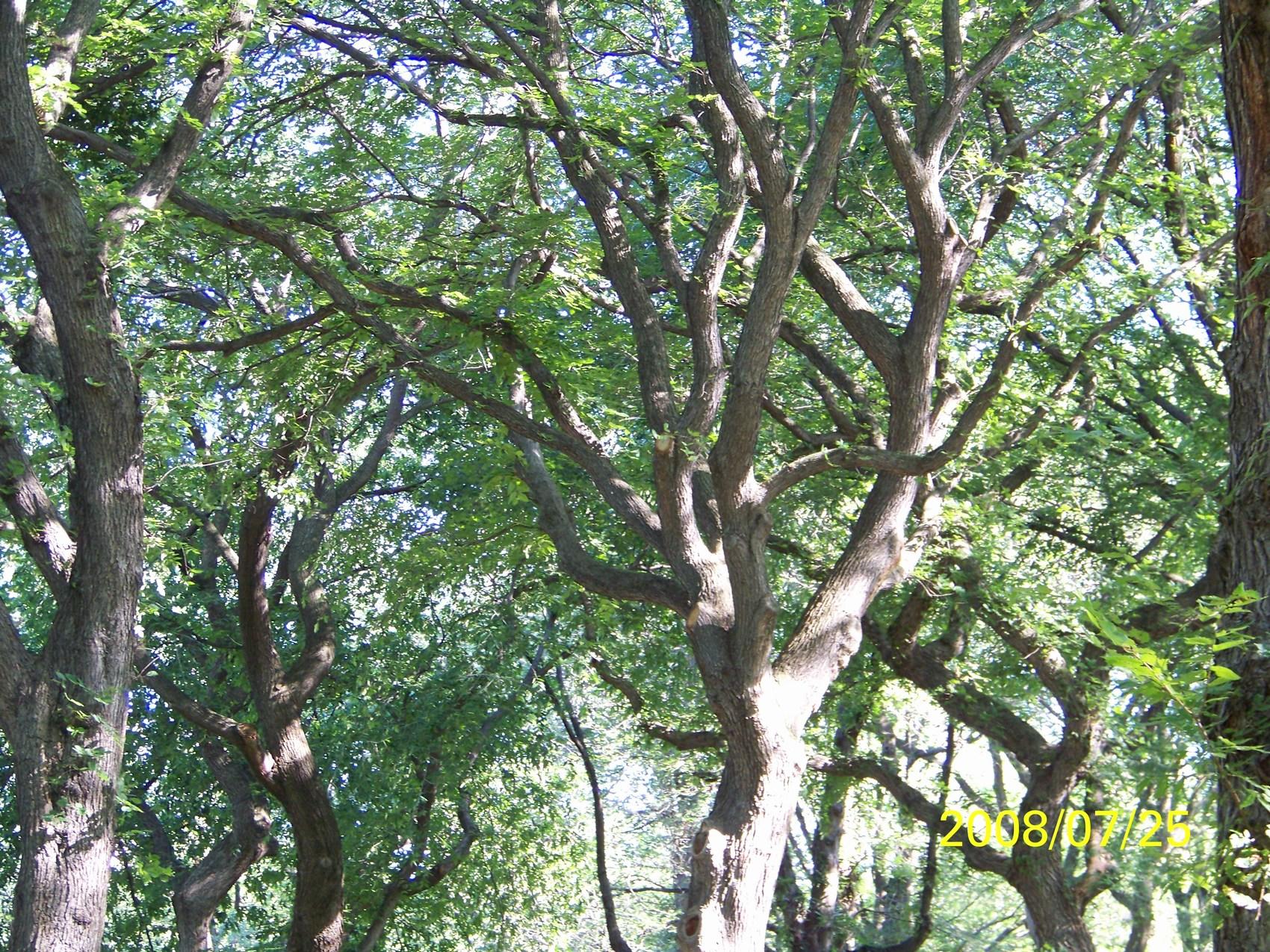 Elm Tree Image