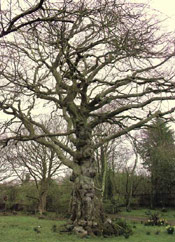 Belle Elm Tree