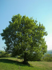 Pictures of Maple Trees: Field maple tree