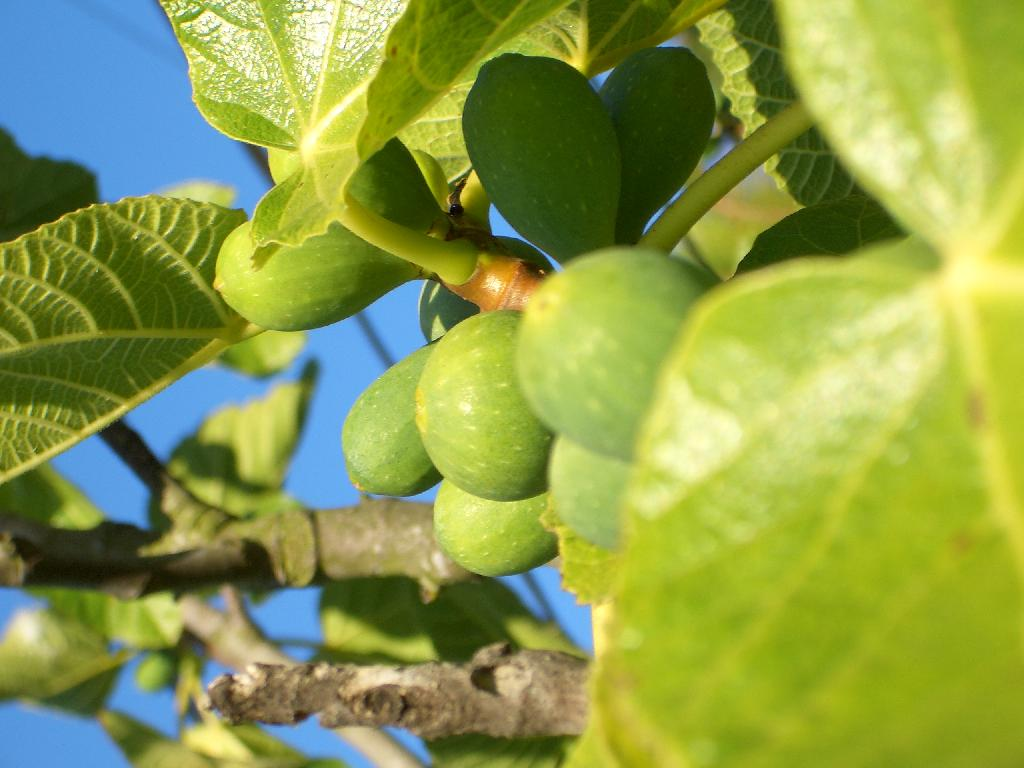 fig trees pictures u0026 facts on the fig tree species
