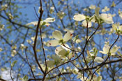 Flowering Dogwood Baum