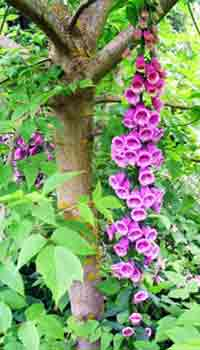 Foxglove Tree Photograph