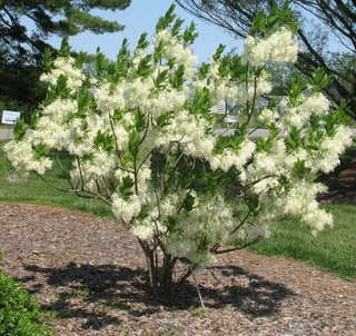 Fringe tree pictures photos images facts on fringe trees for Great small trees