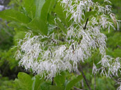 Fringe Tree Photo