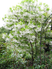 Fringe Tree in Bloom
