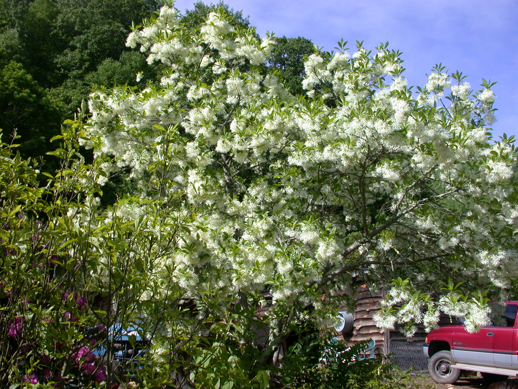 Fringe Trees: Fringe Tree Facts