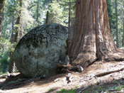 Giant Sequoia Crann